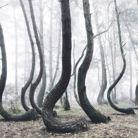 Mysterious Forest Of 400 Crooked Trees In Poland - ShockBlast